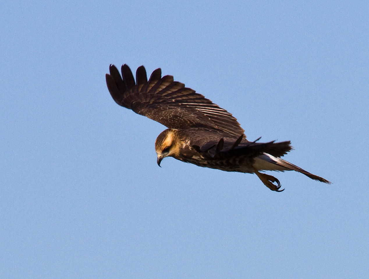snail kite female