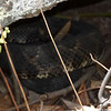 Dark Phase Timber Rattlesnake on the Broad Mountain...A little camera shy!
