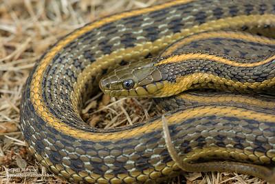 Pacific Coast Aquatic Garter Snake Thamnophis atratus atratus, Point Reyes, California.