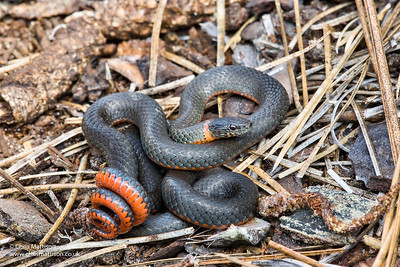 Ringneck Snake, Diadophis punctatus, San Jose, Califronia, in defensive posture, which involves coiling its tail to show the brightly coloured underside.