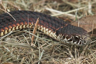 Another copperhead (Australaps superbus). This one's one of the more colourful morphs. The copperhead is sometimes known as a yellow bellied black snake but apart from being an elapid (fixed, frontal fanged snakes) it isn't much related to the black snake. Just like the king brown is much more closely related to the black than the brown. D'oh.