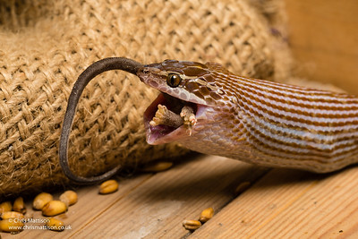 Cape House Snake, Boaedon capensis, South Africa (captive).  Eating mouse.