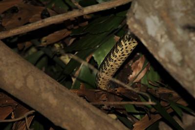 Carpet Python, Morelia spilota variegata