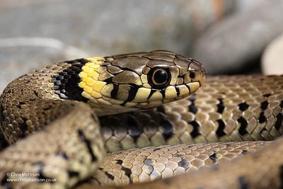 Young grass snake, Natrix natrix helvetica, Yorkshire