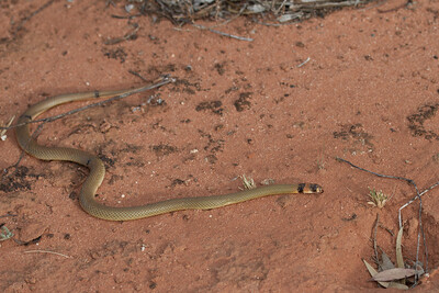 Ringed Brown Snake (Pseudonaja modesta) - Gluepot, South Australia