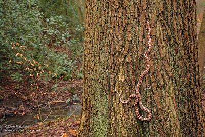 Leopard snake, Zamenis situla, climbing. Colubridae