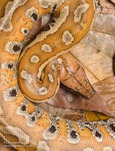 Blood Python, Python curtus