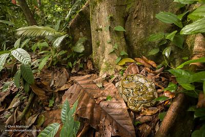 Reticulated Python, Python reticulata, Sukau, Borneo
