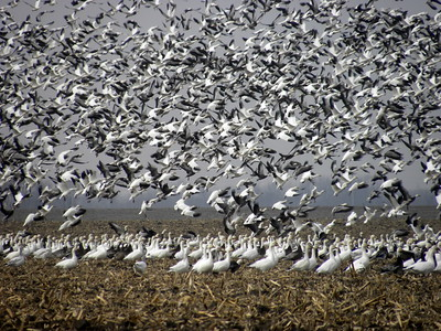 Snow Geese along IL River and in Central IL