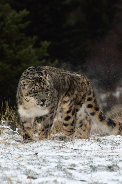 snow leopard walking in snow