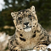 stare of a snow leopard