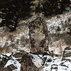 snow leopard on rocks