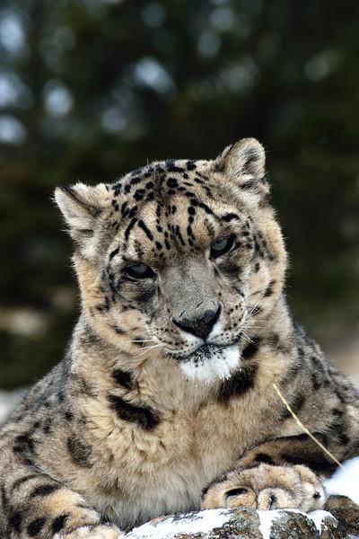 snow leopard stare