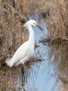 Snow Egret Jan 2018-1670