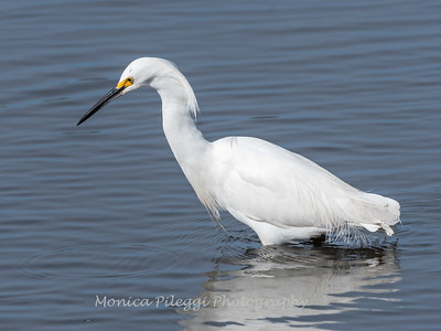 Snow Egret Jan 2018-1417