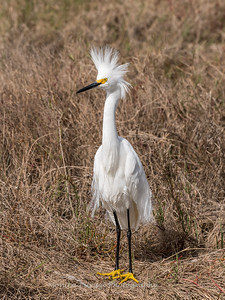 Snow Egret Jan 2018-1605