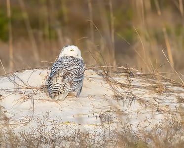 Deb's Snowy Owls