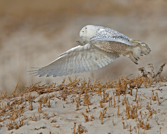 snowy owl, January on Assateague Island National Seashore
