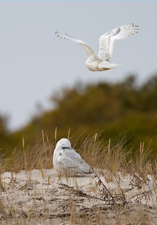 snowy owls in close proximity, January on Assateague Island National Seashore
