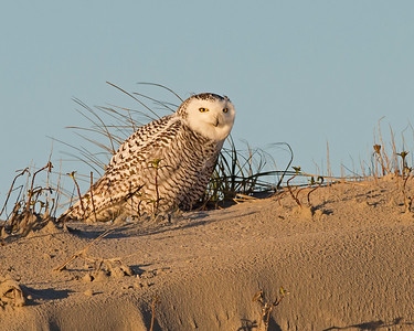 snowy owl, morning light on Ocracoke, NC