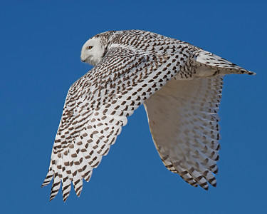 snowy owl in flight, Ocracoke, NC