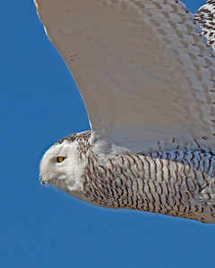snowy owl portrait in flight, Ocracoke, NC