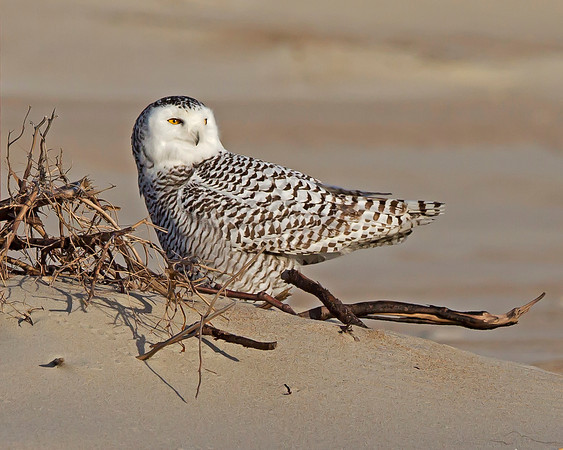 snowy owl, Ocracoke Island, NC in January during the irruption