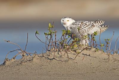 snowy owl, Ocracoke, NC
