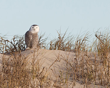 snowy owl in the dunes, Ocracoke, NC