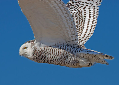 snowy owl in flight, Ocracoke Island, NC