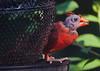 Condor or Cardinal?