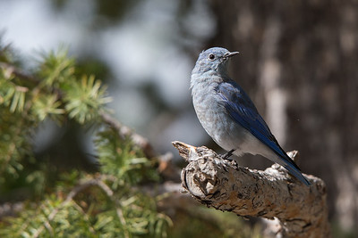 Mountain Bluebird iV