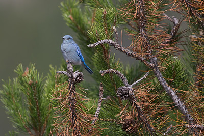 Mountain Bluebird II