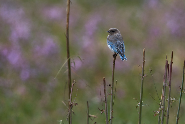 Mountain Bluebird i
