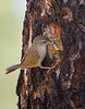 House Wren feeding a grub to its young