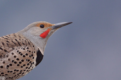 Northern Flicker portrait
