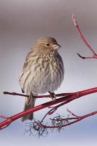 Pine Siskin on Red Osier Dogwood