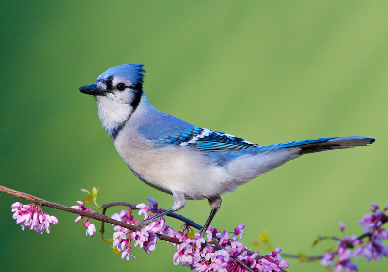 Blue Jay on Eastern Redbud