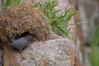 American Dipper at her nest, Yellowstone National Park