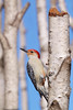 Red-bellied Woodpecker in the Birches