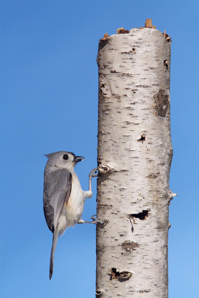 Tufted Titmouse on rotted Birch stump