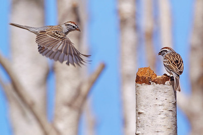 Chipping Sparrows in the Birches