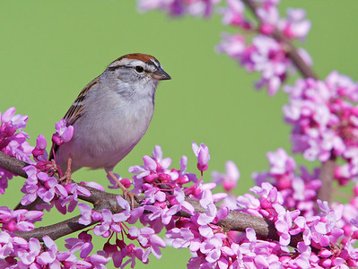 Chipping Sparrow on Eastern Redbud