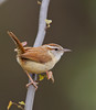 Carolina Wren on Eastern Redbud