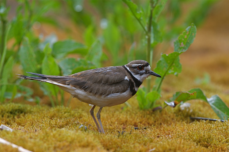 Killdeer in wetland habitat