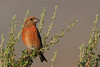 Red Crossbill perched on sage brush
