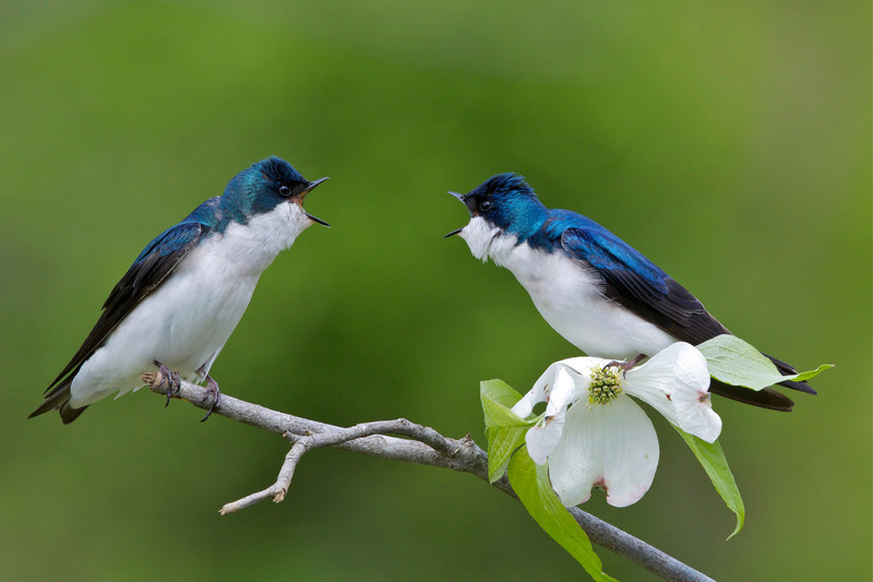 Tree Swallows; two males facing off