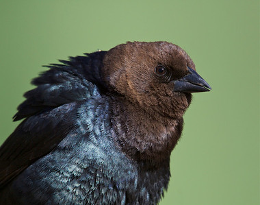 Brown Headed Cowbird; mating display