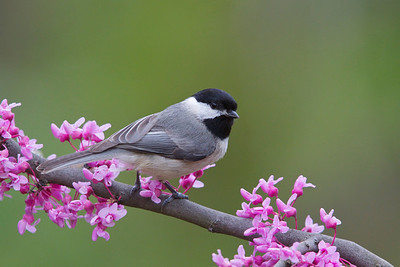 Black-capped Chickadee on Eastern Redbud