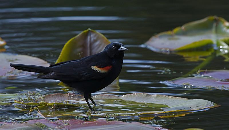 Red-winged Blackbird in wetland habitat